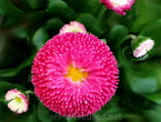 Bellis (Daisy) Picture for gallery Macros