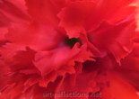 Carnation by Ingrid Funk