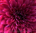 Chrysanthemum by Ingrid Funk