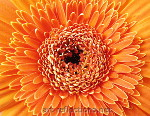 Gerbera by Ingrid Funk