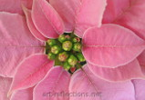 Pink Poinsettia by Ingrid Funk