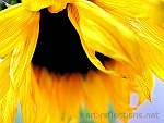 Sunflower by Ingrid Funk