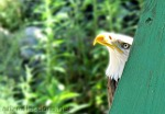 Bald Eagle ~ Falconry Benalmádena by Ingrid Funk